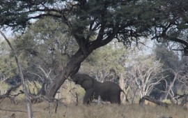 Elephant shaking an Acacia tree