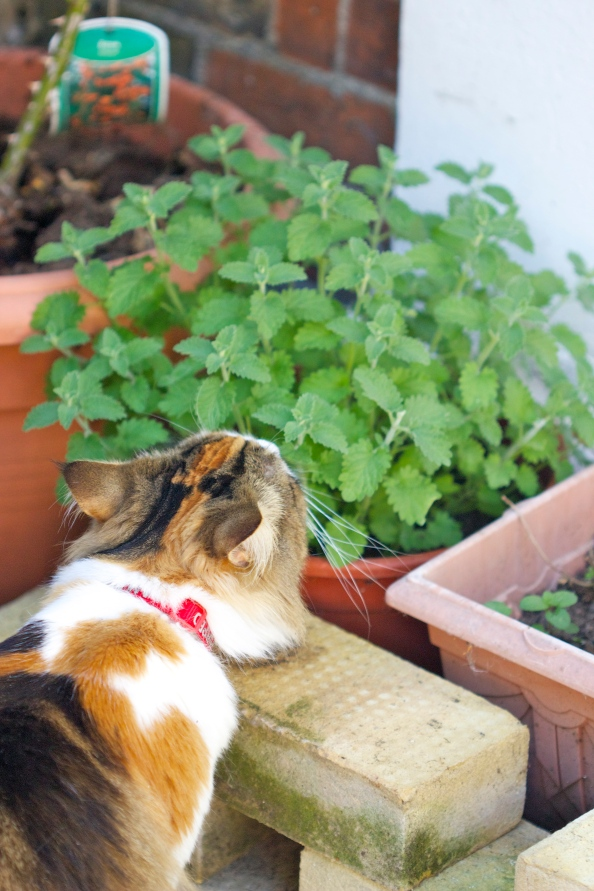 Vegas and her catmint